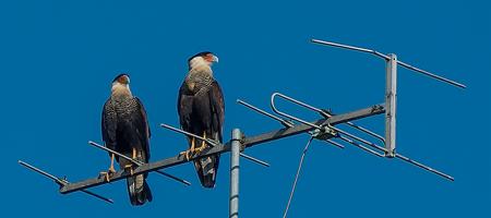 Lintuja antennin päällä